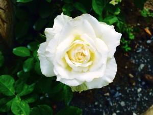 rose-937624_1280